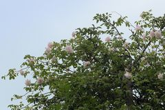 Rambling or climbing rose. `Madame Alfred Carriére` with soft pink flowers in an apple tree against a blue sky, old noisette rose bred by schwartz 1875 royalty free stock photos