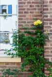 Rambling rose at a house wall Stock Photos