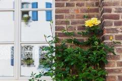 Rambling rose at a house wall Stock Photo
