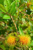 Ramboutan, fruit populaire en Thaïlande photographie stock