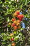 Ramboutan sur l'arbre Le ramboutan est un fruit tropical, goût doux en île Bali, Indonésie Photo stock