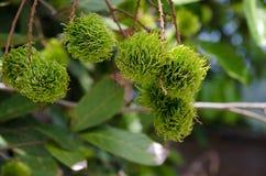 Ramboutan vert sur l'arbre Images stock