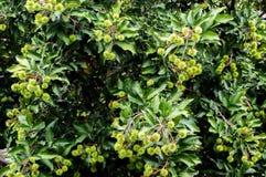 Ramboutan vert sur l'arbre dans la forêt image libre de droits