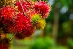 Rambutan από την Ταϊλάνδη Στοκ Φωτογραφίες