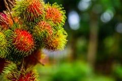 Rambutan από την Ταϊλάνδη Στοκ εικόνα με δικαίωμα ελεύθερης χρήσης