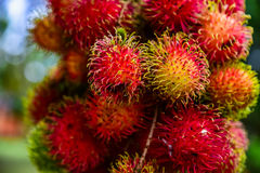 Rambutan από την Ταϊλάνδη Στοκ Εικόνες