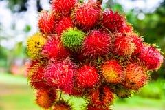 Rambutan από την Ταϊλάνδη Στοκ Εικόνα