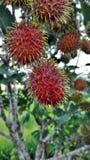 Rambutan από τη Μαλαισία στοκ εικόνες