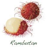 Rambutan επίσης corel σύρετε το διάνυσμα απεικόνισης Στοκ Εικόνες