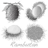 Rambutan επίσης corel σύρετε το διάνυσμα απεικόνισης Στοκ Εικόνα