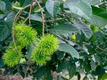Rambutan στο δέντρο Στοκ φωτογραφίες με δικαίωμα ελεύθερης χρήσης