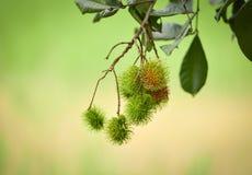 Rambutan στο δέντρο Στοκ Φωτογραφία