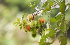 Rambutan στο δέντρο Στοκ Εικόνες