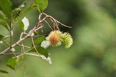 Rambutan στο δέντρο Στοκ φωτογραφία με δικαίωμα ελεύθερης χρήσης