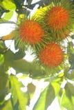 Rambutan στοκ φωτογραφία με δικαίωμα ελεύθερης χρήσης