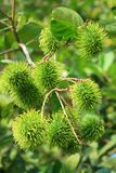 Rambutan Foto de Stock Royalty Free