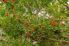 Rambutan Fotografía de archivo