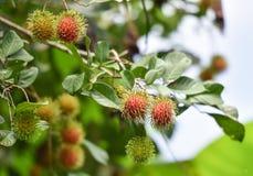 Rambutan auf Baum Lizenzfreie Stockbilder