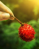 Rambutan berry in hand Royalty Free Stock Photography