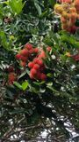 Rambutan de la fruta imagenes de archivo