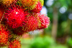 Rambutan de Tailândia Foto de Stock
