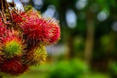 Rambutan de Tailandia Foto de archivo libre de regalías