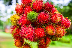 Rambutan de Tailandia Fotos de archivo