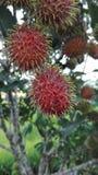 Rambutan eller hårig frukt Royaltyfria Bilder