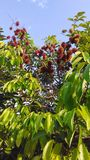 Rambutan en el árbol fotografía de archivo libre de regalías