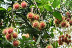 Rambutan fruit. Fresh rambutans hung on durian trees in a Thai farmer`s garden. The fruit is very palatable Royalty Free Stock Photography