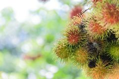 Rambutan fruit. Fresh rambutans hung on durian trees in a Thai farmer`s garden. The fruit is very palatable Royalty Free Stock Photo