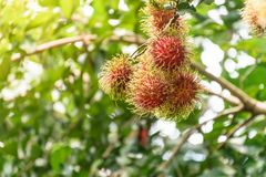 Rambutan fruit. Fresh rambutans hung on durian trees in a Thai farmer`s garden. The fruit is very palatable Stock Photo