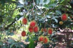 Food. Rambutan sweet fruit from orchard royalty free stock image