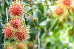 Rambutan fruit. Fresh rambutans hung on durian trees in a Thai farmer`s garden. The fruit is very palatable Stock Photography