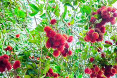 The Rambutan Royalty Free Stock Images