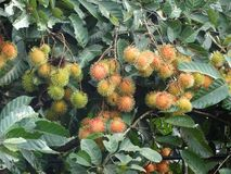 Rambutan fruit on the tree. Fresh rambutan fruit on the tree Stock Image