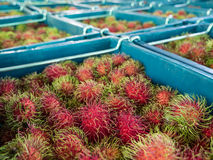 Rambutan fruits in blue bins. Fresh red and green rambutan fruits from Thailand in blue bins Royalty Free Stock Photography