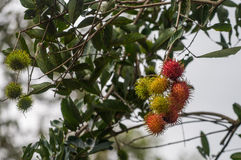 Rambutan fruits on the tree in Indonesia Royalty Free Stock Photos