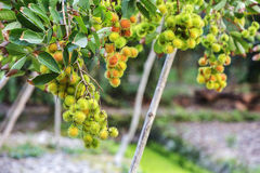 Rambutan in garden Stock Image