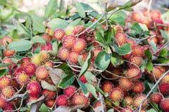 Rambutan in garden Stock Images