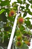 Rambutan harvest. Fresh rambutan harvest in garden Royalty Free Stock Image