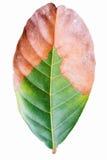 Rambutan leaf. A half burning isolated rambutan leaf on white background Royalty Free Stock Image