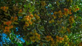 Rambutan, tropical fruit of South East Asia region hanging on the tree. Rambutan, native tropical fruit of South East Asia region hanging on the tree Royalty Free Stock Photo
