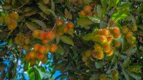 Rambutan, tropical fruit of South East Asia region hanging on the tree. Rambutan, native tropical fruit of South East Asia region hanging on the tree Stock Images