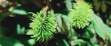 Rambutan fotografia stock libera da diritti