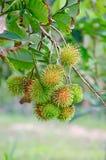 Rambutan på träd Fotografering för Bildbyråer