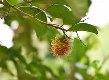 Rambutan på träd Royaltyfria Foton