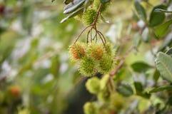 Rambutan på träd Royaltyfri Fotografi