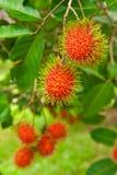 Rambutan, populair fruit in Thailand Stock Fotografie