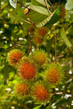 Rambutan, popular fruit in Thailand Stock Photos